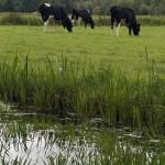 meadow.cows
